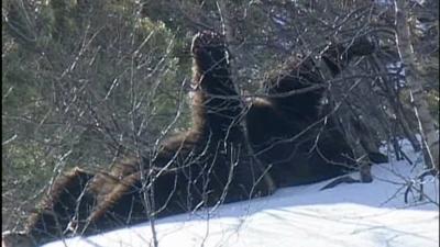 bébés ours, aperçus, Pyrénées, jouant dans la neige, Couserans, randonneurs, Pollen, Hvala, insolite, animaux,