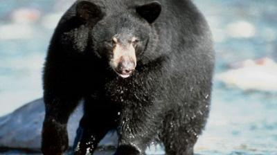 un homme dévoré, un ours noir, restes du corps, personne âgée, Colombie-Britannique, police, attaque, sergente Cheryl Simpkin-Works, mort, suspecte, insolite, animaux,