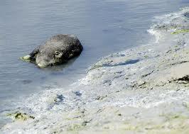 mystère, cadavres de sangliers, plages bretonnes, algues vertes, baie de st brieuc, eau infectée, plage de Morieux, insolite, animaux,