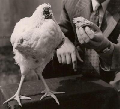 un poulet, vit sans tête, insolite, Mike, exécution, endormi, cou de poulet, caillot, incroyable,