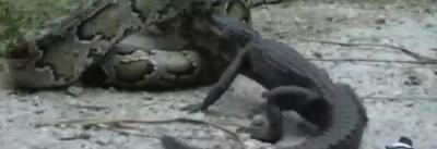 python birman, dévorer, crocodile, serpent, bouche, avaler, animaux, time lapse, engloutir, insolite
