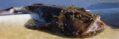 30 animaux, rares, étranges, insolite, cochon de mer, lézard Ajolote, Aye-Aye, géante Salamandre chinoise, bathynome géant, myxine, grenouille poilue, requin lutin, grenouille violette, carpe à la tête humaine,