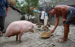cochon à 2 pattes, insolite, spider cochon, Joo Tentyang, animal, soue, étrange,