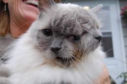 chat à deux visages, le plus vieux, insolite, Frank et Louie, chat à deux têtes, chat janus, Guiness World Record, divinité romaine, malformation,
