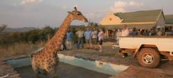 girafe, sauvetage, tombée dans une piscine, coincée, Angleterre, Lucy, plateau de tournage, incapacité, insolite, animaux,