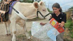 Hadrien, tour de France, avec sa vache, Camomille, insolite, Maine et Loire, agriculteurs bio, Charolaise, tenir en longe, parcourir à pied, 1200 km,