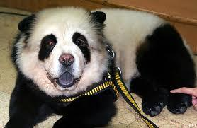 Le chien chow chow panda