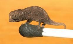plus petit caméléon, Brookesia micra, chercheurs, 16 millimètres de long, vertébrés, animaux, insolite,