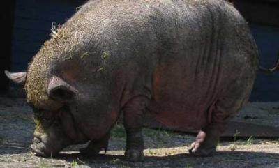 Un porc sauve la vie a sa maitresse