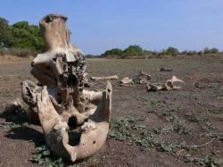 cimetière des éléphants, insolite, Afrique noire, rumeurs, mourir, lieu secret, restes, congénères, ivoire, nombreuses convoitises, traditions, mort, troupeau, ossements, éternité, sépulture ancestrale,